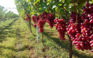 Table grape supplier
