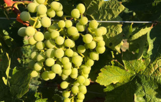 Global Grape supplier