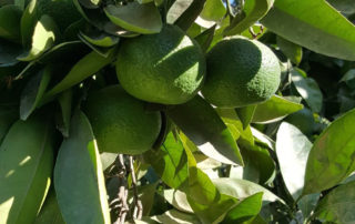 South Africa Citrus Grower