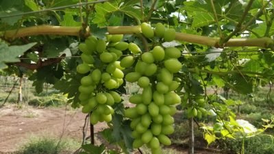 ARRA grape growing on the vine in India