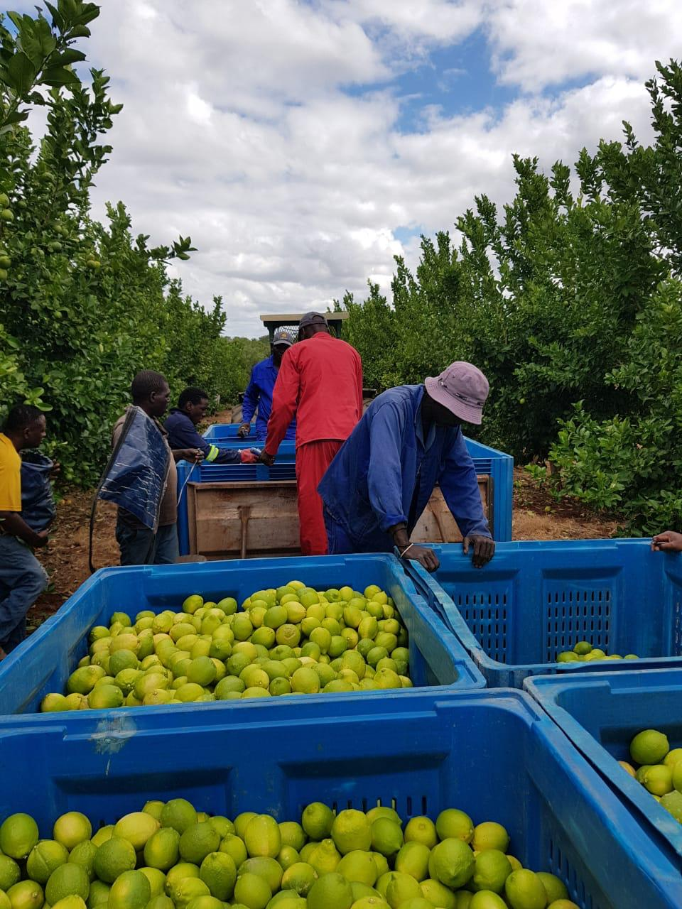 Harvesting South African lemons