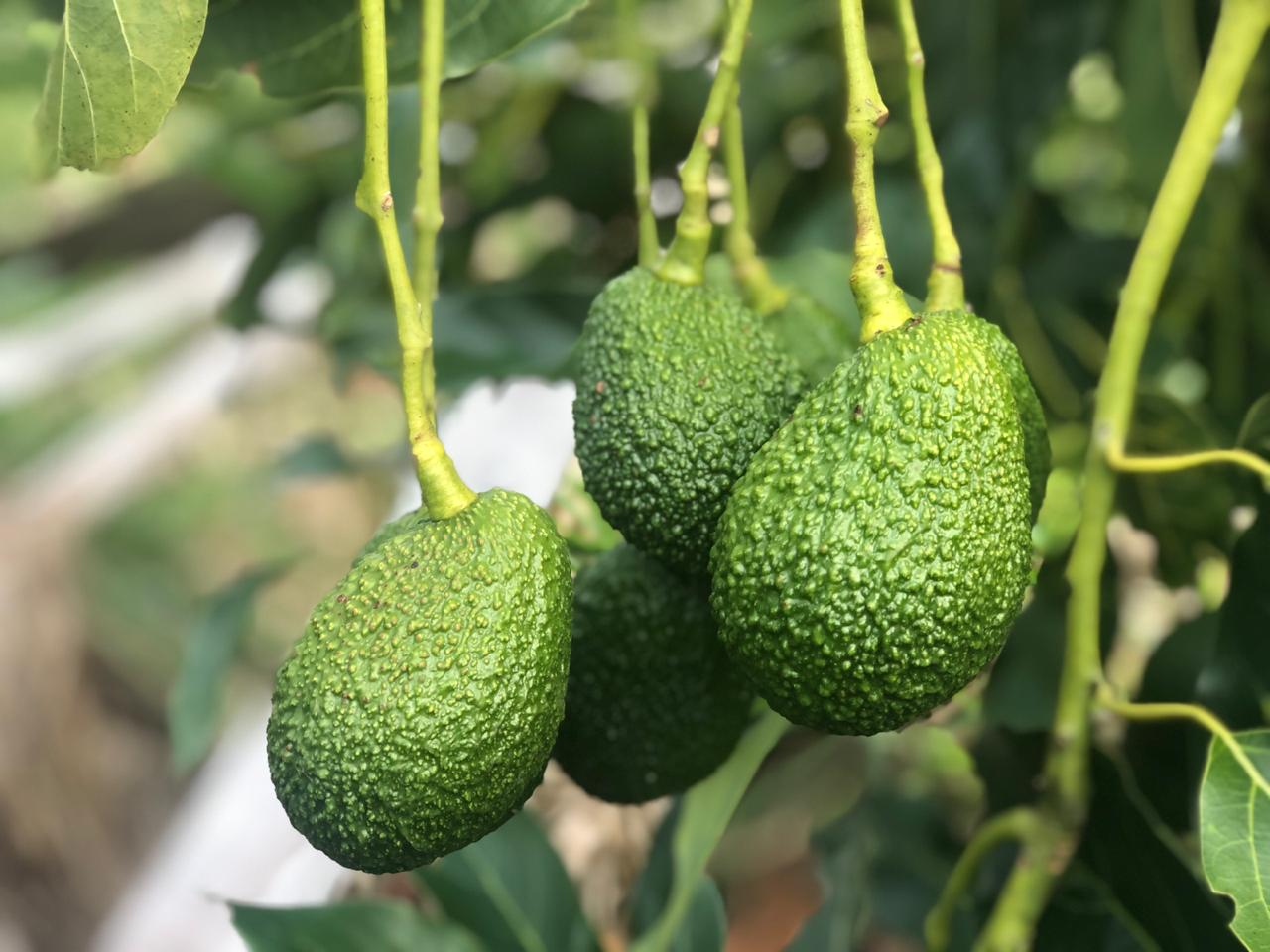 Fresh avocado in field Jupiter