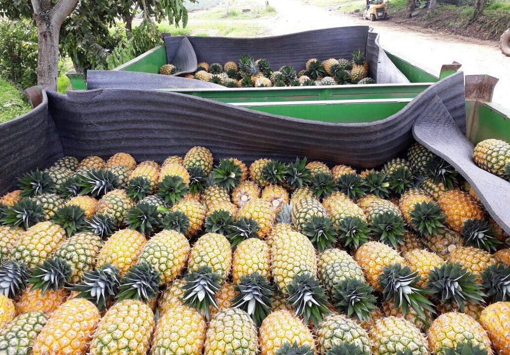 Jupiter Colombian pineapples available 52-weeks per year