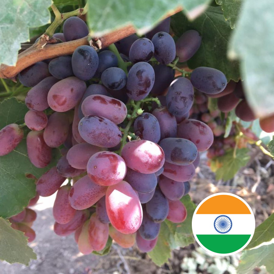 Jupiter's India grape season starts now