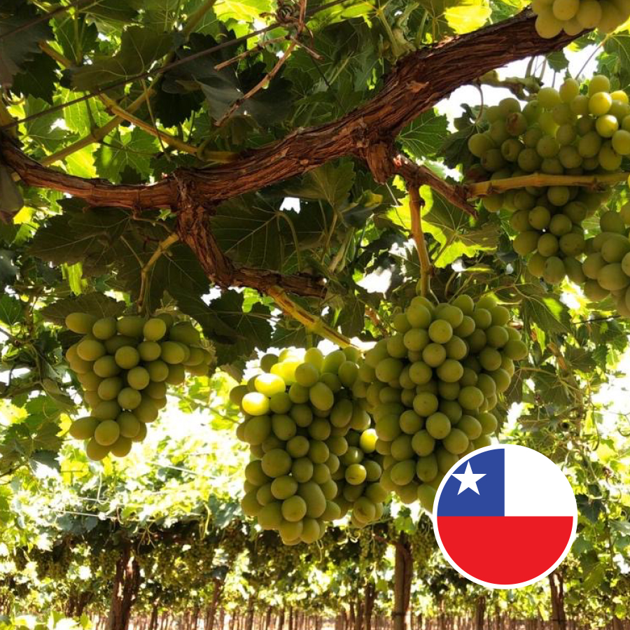 Jupiter Chilean ARRA 15 grapes 2020 2
