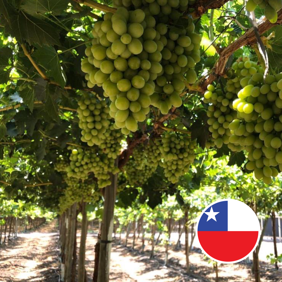 Jupiter Chilean ARRA 15 grapes 2020 3