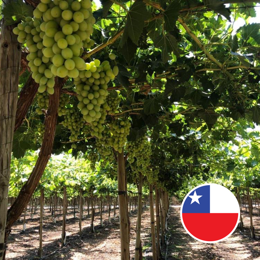 Jupiter Chilean ARRA 15 grapes 2020 4