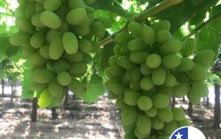Jupiter's Chilean Thompson grape