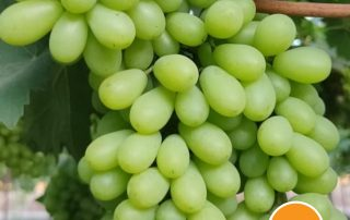 Jupiter's Indian ARRA 15- white grape