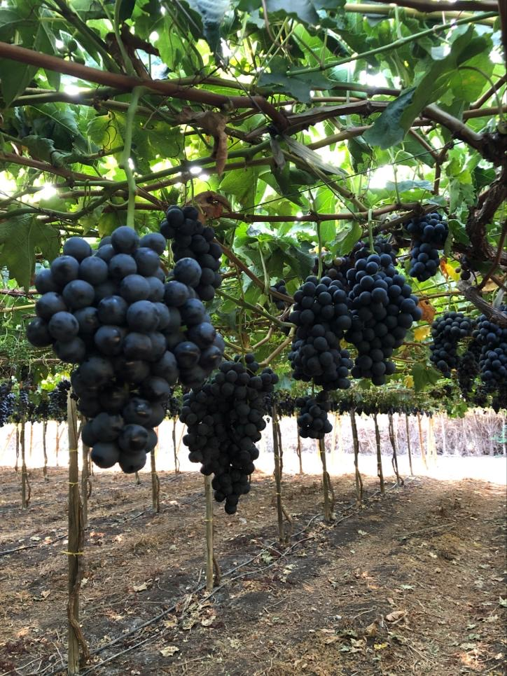 Jupiter Group's Chilean Maylen grape