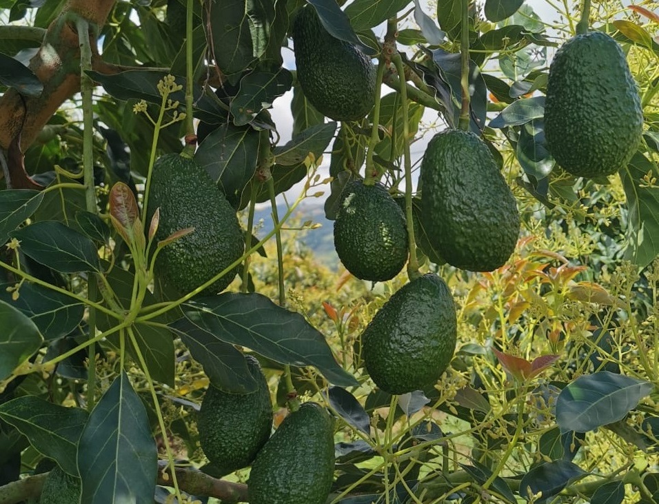 Fresh produce grower and supplier Jupiter Group's Colombian avocado