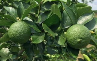Fresh produce grower and supplier Jupiter Group's Colombian limes