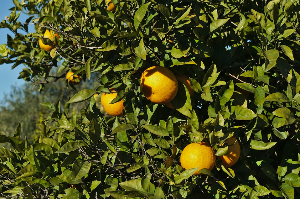 Valencia oranges growing on farm