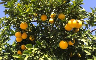 Grower and supplier Jupiter Groups Valencia oranges 2