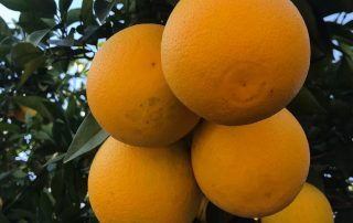 Grower and supplier Jupiter Groups Valencia oranges