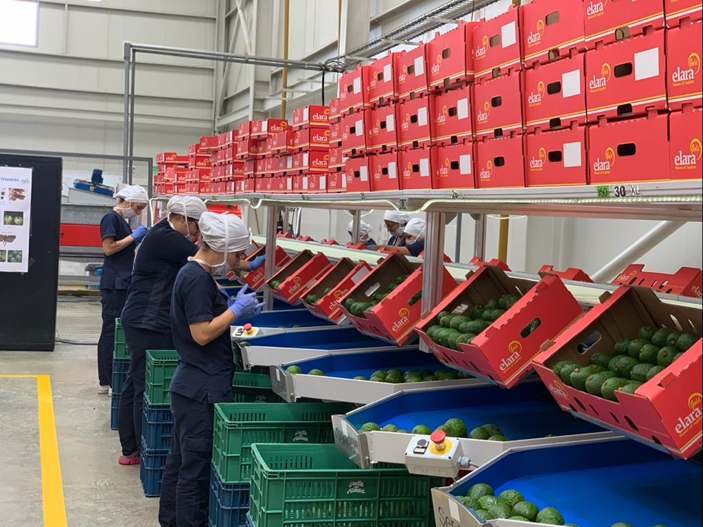 Fresh fruit grower and supplier Jupiter Group packing Hass avocados