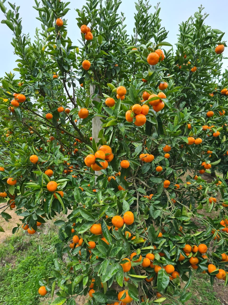 Fresh produce grower Jupiter Group's Moroccan citrus season starts with Clementines