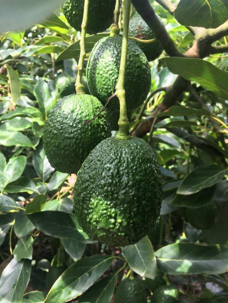 Fresh producer grower Jupiter Group's Colombian Hass avocado growing