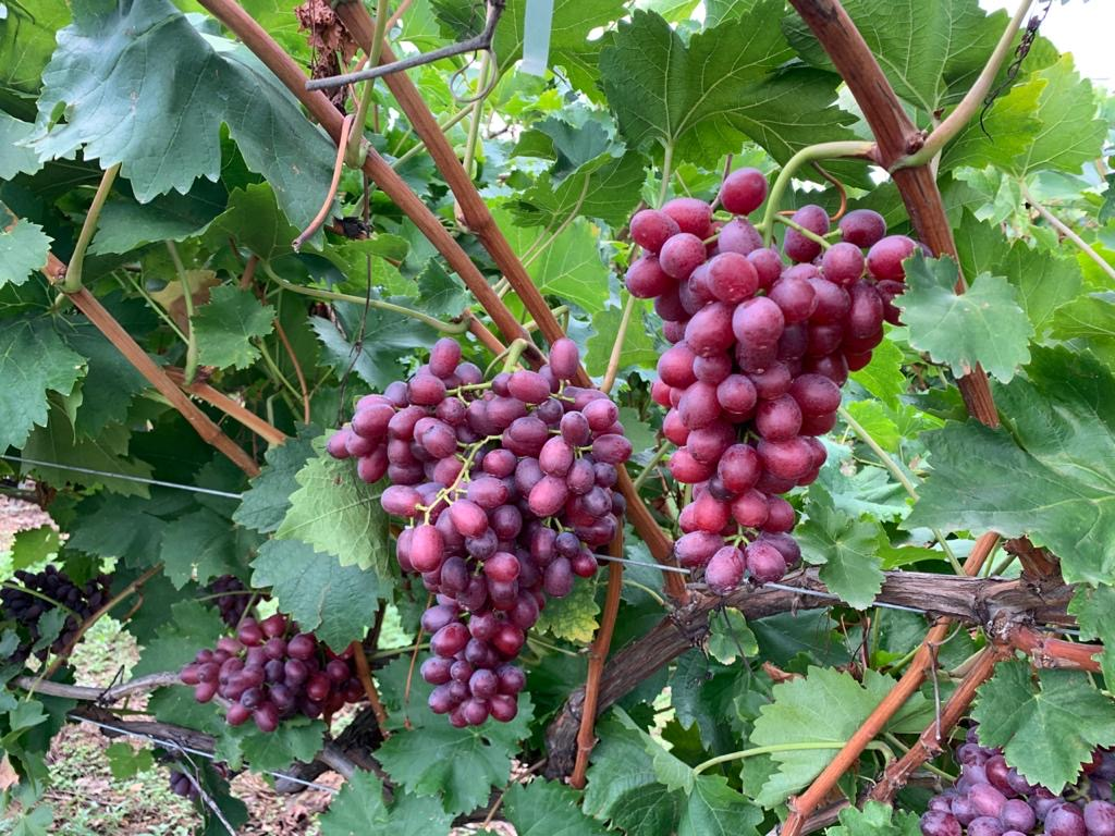 Fresh-produce-grower-Jupiter-Groups-Greek-Crimson-table-grapes
