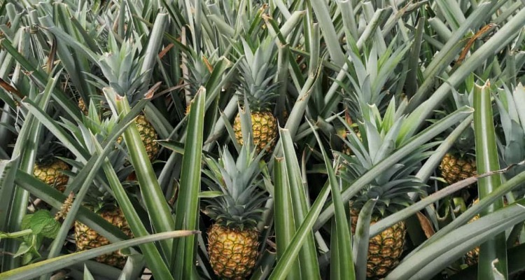 Fresh produce grower Jupiter Group's MD2 pineapples growing