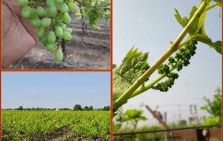 Fresh produce grower Jupiter Group look ahead to their much anticipated Indian grape season