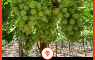 Grapes could be the go-to fruit in the fight against COVID-19