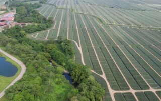 Jupiter Group's Costa Rican pineapple production