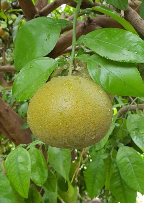 Jupiter Group's South African Star Ruby grapefruit developing well