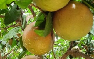 Jupiter Group's Star Ruby grapefruit developing well in South Africa