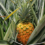 Jupiter Group's Costa Rican MD2 pineapples growing