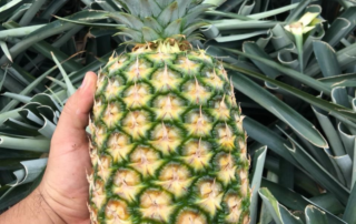 Jupiter Group's Costa Rican MD2 pineapples growing on farm