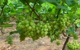 Fresh produce grower Jupiter Group's new variety table grapes ARRA 15 (1)