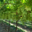 Fresh produce grower Jupiter Group's new variety table grapes ARRA 15