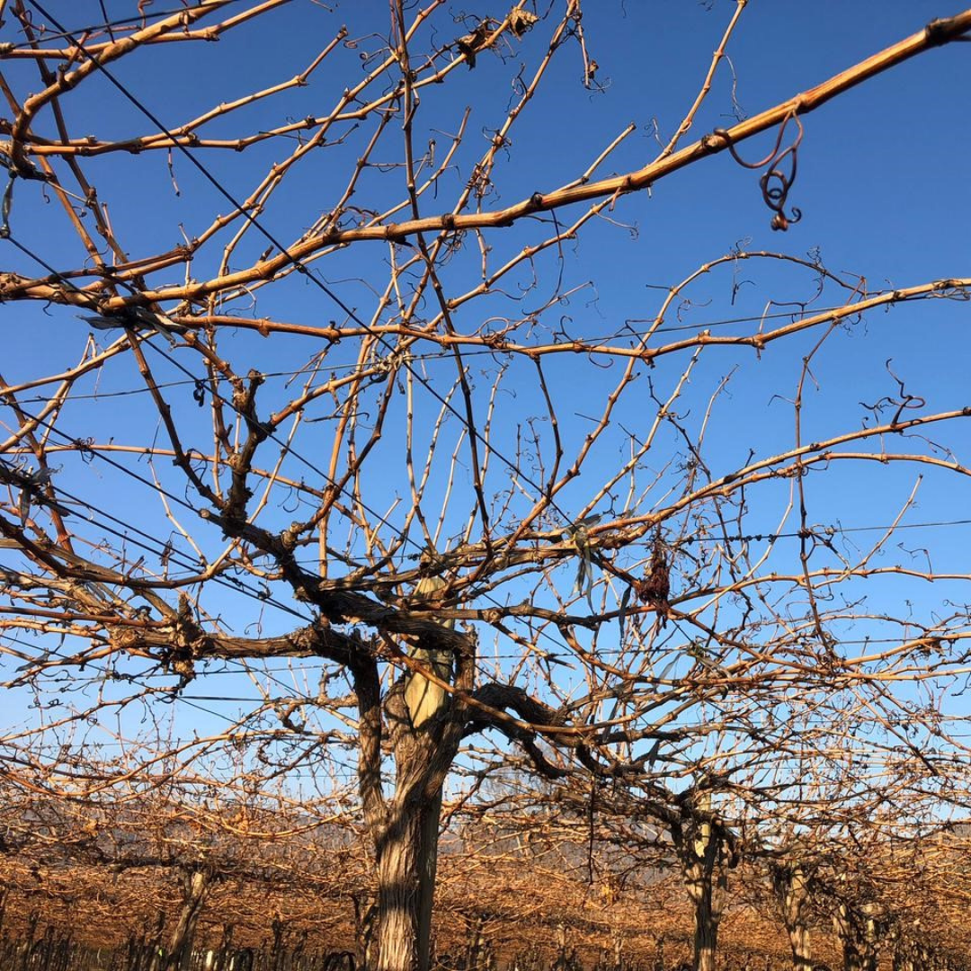 Fresh produce grower Jupiter Group's vineyards are currently on hiatus in Chile
