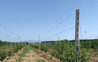 Jupiter Group South African plums in Greece orchard