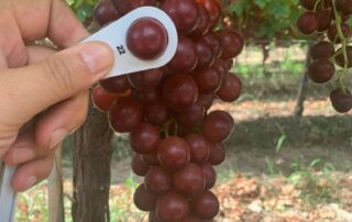ARRA 19 (ARRA Passion Glow™) harvesting in limited quantity from our Greek vineyards