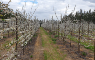 Fresh produce grower Jupiter Group's Ruby Sun plums in RSA blooming