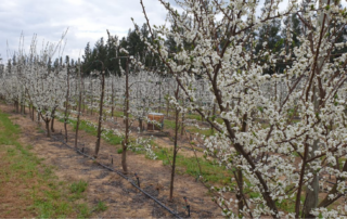 Fresh produce grower Jupiter Group's plums in RSA blooming